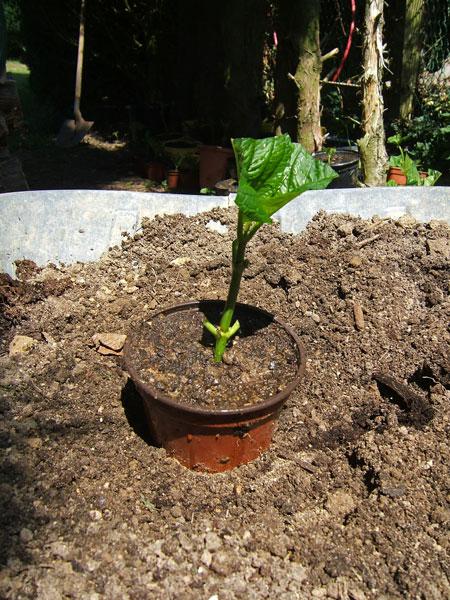 Bouture hydrangea hortensias en pots tailler rgulirement les rameaux bouture hortensia - Quelle terre pour hortensia ...